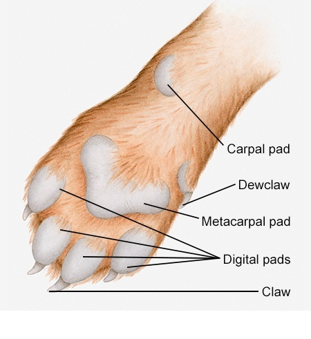 labeled-diagram-of-dogs-paw