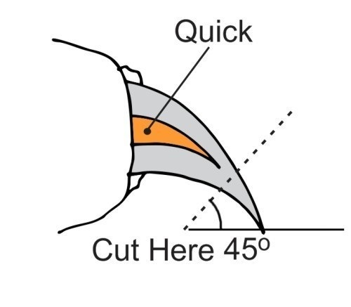 where-to-clip-dog-nail-quick